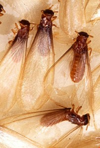 St. Louis termite swarmer, termite remediation may be needed